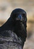 Verticale de corneille noire sauvage image stock