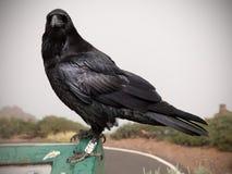 Verticale de corneille ou de corbeau Photographie stock libre de droits