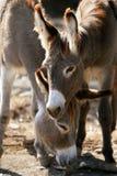 Verticale de couples d'ânes photo libre de droits