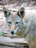Verticale de coyote Photographie stock libre de droits