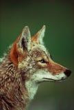 Verticale de coyote Images libres de droits