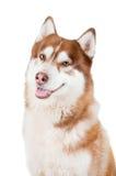 Verticale de crabot de chien de traîneau sibérien Photographie stock
