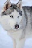 Verticale de crabot de chien de traîneau sibérien Photos libres de droits