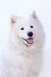 Verticale de crabot de Samoyed Photo libre de droits