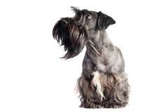 Verticale de crabot de terrier de Cesky Photographie stock libre de droits