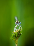 Verticale de Damselfly Photos stock