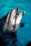 verticale de dauphin Images libres de droits