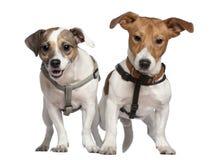 Verticale de deux chiens terriers de Jack Russell, 2 années Photos stock