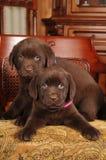 Verticale de deux chiots mignons de Labrador sur la présidence Images stock