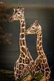 Verticale de deux giraffes Photographie stock libre de droits