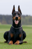 Verticale de dobermann Photographie stock libre de droits