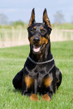 Verticale de dobermann noir Photo stock