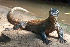 Verticale de dragon de Komodo Photographie stock