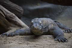 Verticale de dragon de Komodo photo stock