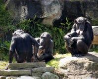 Verticale de famille de chimpanzé Photographie stock