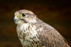 Verticale de faucon Photo libre de droits