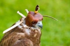 Verticale de faucon avec un capuchon image stock