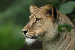 Verticale de femelle de lion Photographie stock