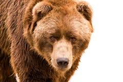 verticale de fin de brun d'ours vers le haut Photo libre de droits