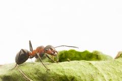 Verticale de fourmi Image libre de droits