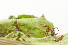 Verticale de fourmi Photographie stock