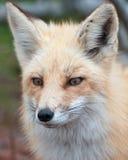 Verticale de Fox Images libres de droits