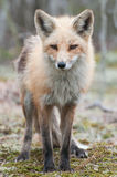 Verticale de Fox Photo stock