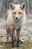 Verticale de Fox photo stock