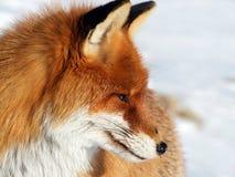 Verticale de Fox Image stock