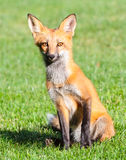 Verticale de Fox rouge Image libre de droits
