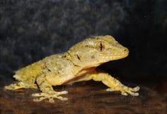 Verticale de Gecko image stock
