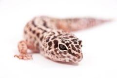 Verticale de gecko de léopard photos libres de droits