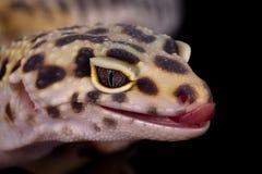 Verticale de gecko de léopard Photos stock