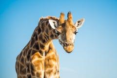Verticale de girafe Images stock