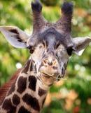 Verticale de giraffe photos stock