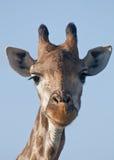 Verticale de giraffe Image stock