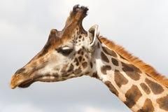 Verticale de giraffe Photo libre de droits