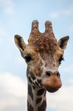 Verticale de giraffe Photos stock