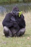 Verticale de gorille Images libres de droits