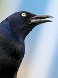 Verticale de Grackle Photo stock