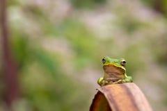 Verticale de grenouille d'arbre Photo libre de droits