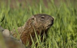 Verticale de Groundhog Photographie stock libre de droits