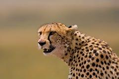 Verticale de guépard Photographie stock
