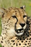 Verticale de guépard Image stock