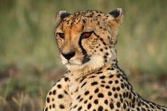 Verticale de guépard Photo libre de droits
