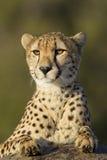 Verticale de guépard, Afrique du Sud Photos stock