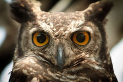 Verticale de hibou regardant fixement la fin d'appareil-photo vers le haut Photos stock