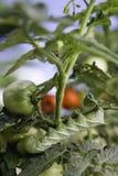 Verticale de Hornworm de tomate Image libre de droits