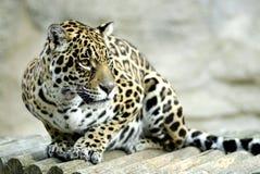 Verticale de jaguar Photo libre de droits
