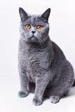 Verticale de jeune chat gris britannique aux cheveux courts Photo libre de droits